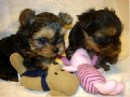 Gorgeous Teacup Puppies for Sale